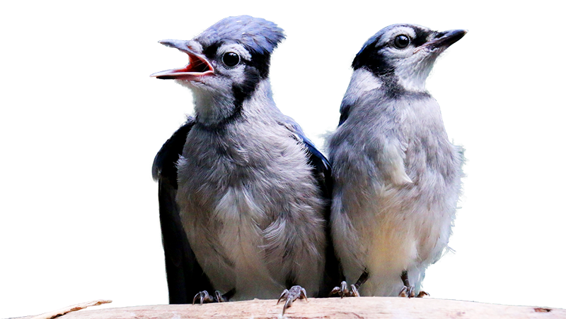 Two Blue Native Quebec Birds Standing on Branch