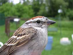 Chipping Sparrow (adult)