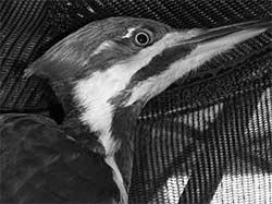 Pileated woodpecker (male)