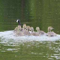 Canada Goose Release