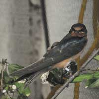 Barn Swallow at Le Nichoir