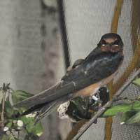 Barn Swallow at Le Nichoir