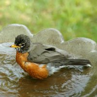 Robin in bird bath