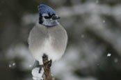 Le gaie bleu