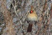 Le cardinal rouge